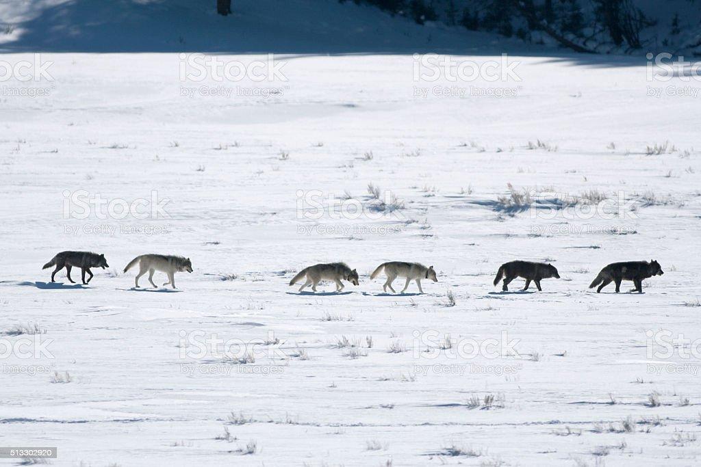 Radio tracking collared wolf pack Lamar Valley Yellowstone Wyoming stock photo