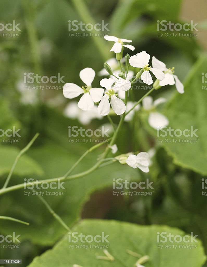 Radish flowers royalty-free stock photo