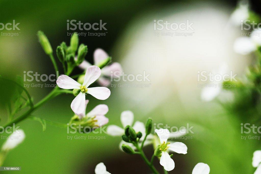 radish flowers royalty-free stock photo