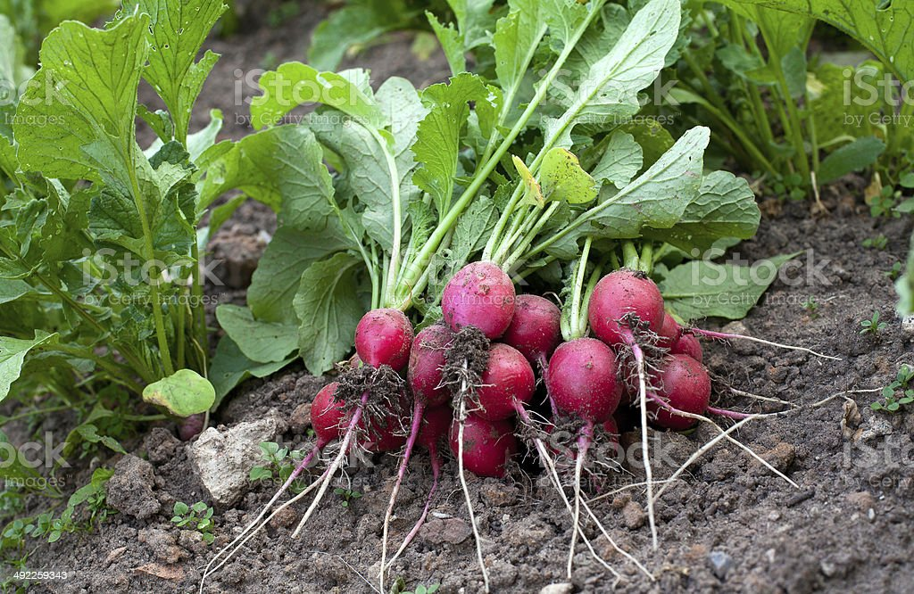 radishes from garden stock photo