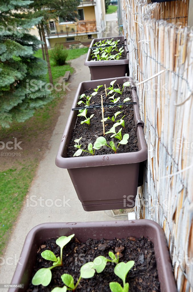Radishes planted in box hang on balcony railing from outside stock photo
