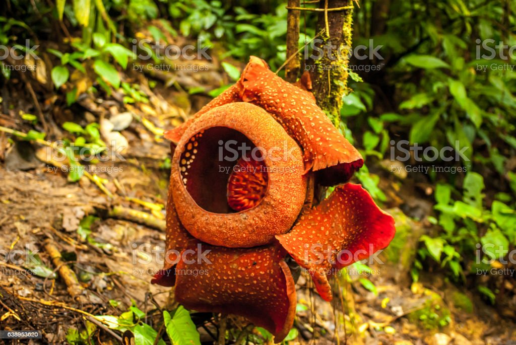 Rafflesia arnoldii in the cameron highlands stock photo