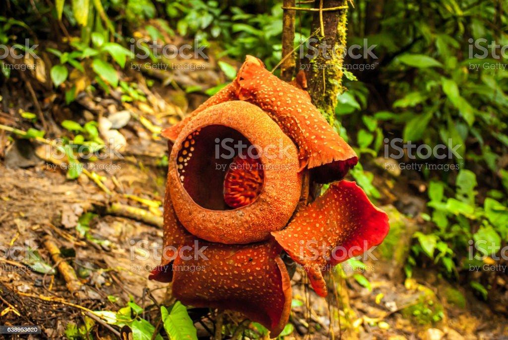 Rafflesia arnoldii in the cameron highlands stock photo