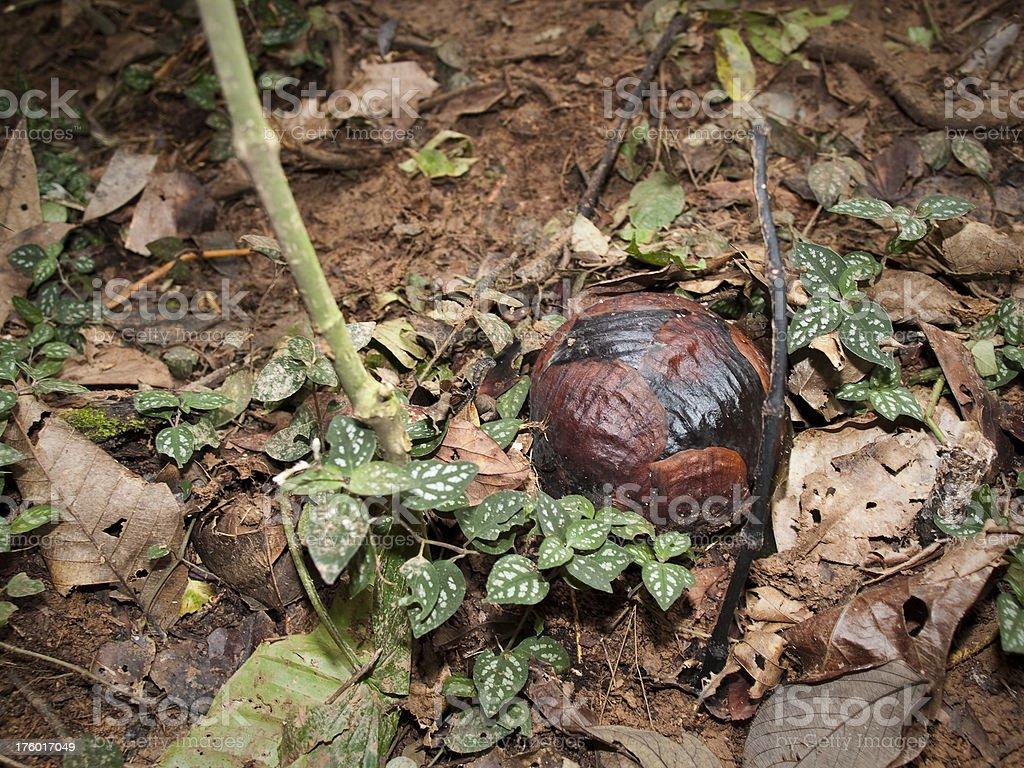 Rafflesia bud stock photo