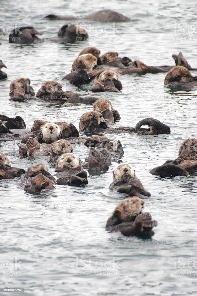 Raft of Wild Sea Otters Resting in Calm Ocean Water stock photo
