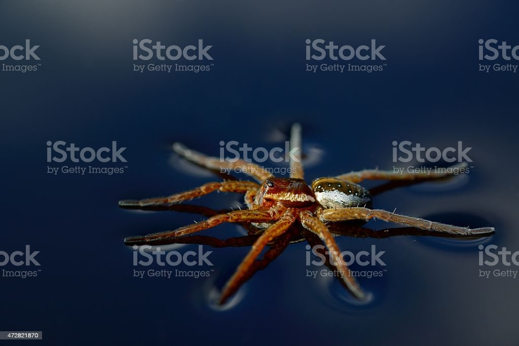Raft Spider, Dolomedes fimbriatus, walking on water stock photo