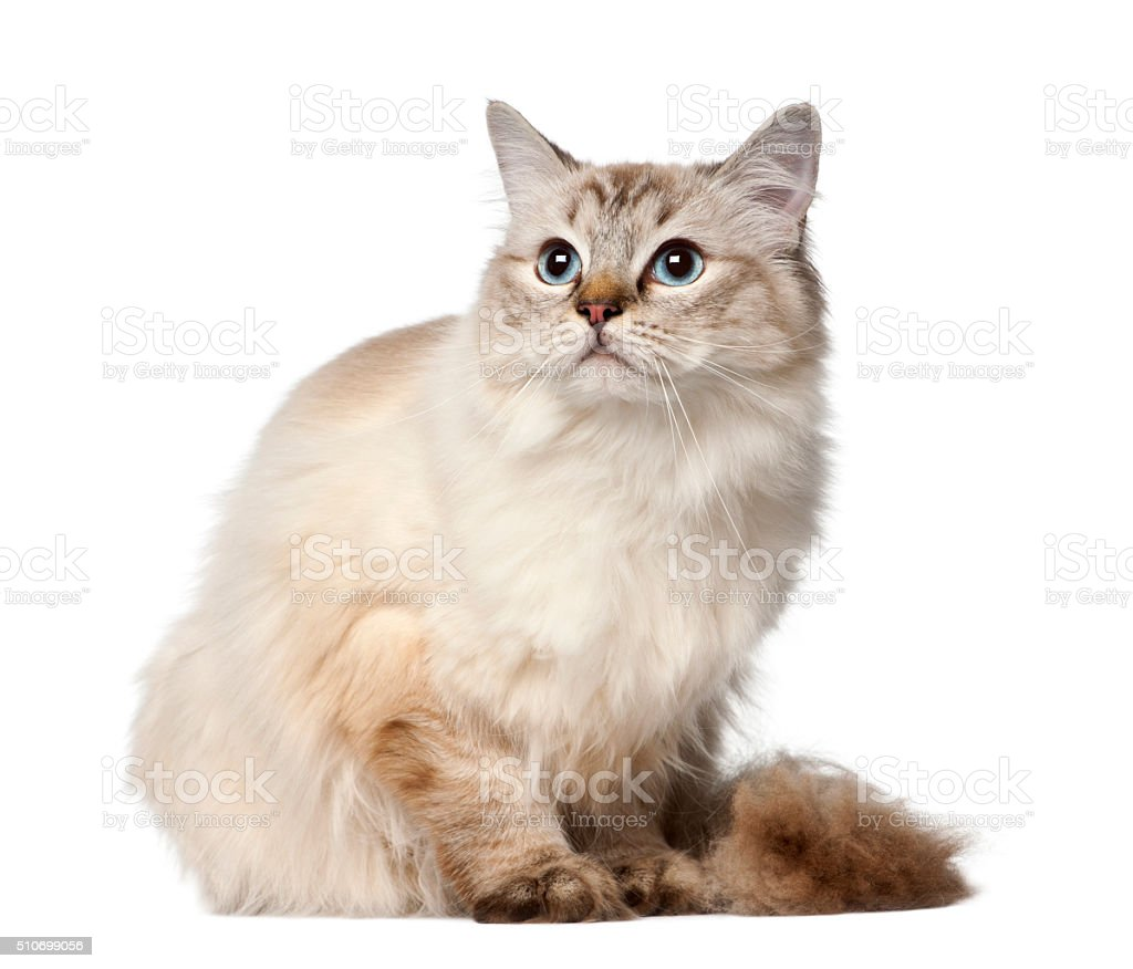 Ragdoll, 10 months old, sitting against white background stock photo
