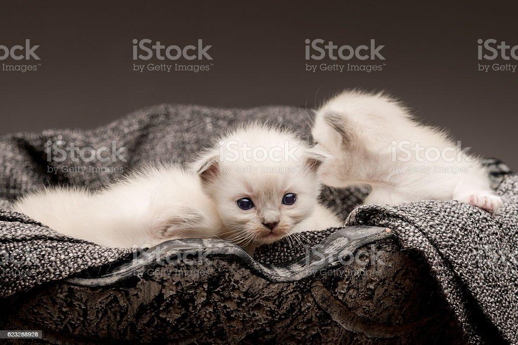 ragdoll baby cats stock photo
