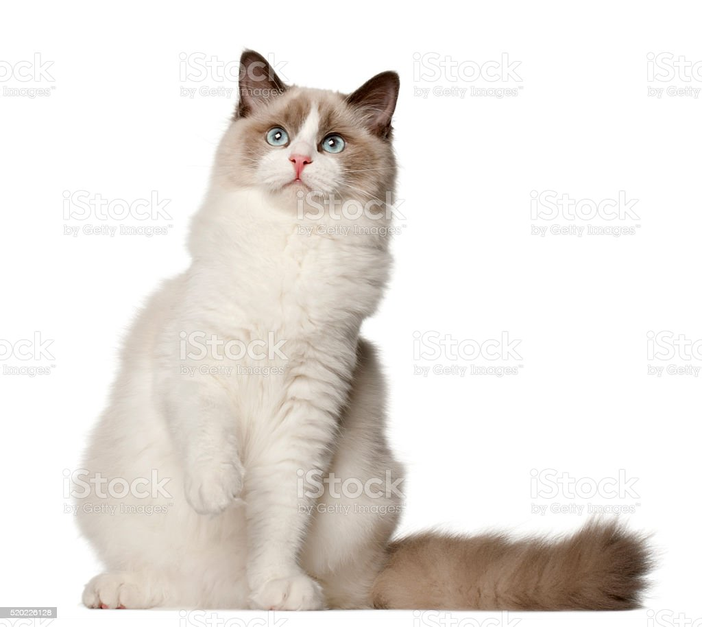 Ragdoll cat, 6 months old, sitting stock photo
