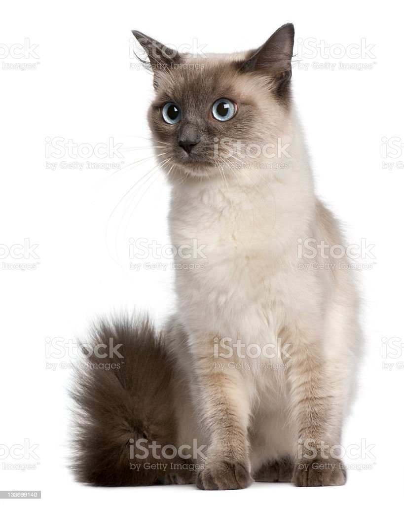 Ragdoll cat, fifteen months old, sitting, white background. stock photo