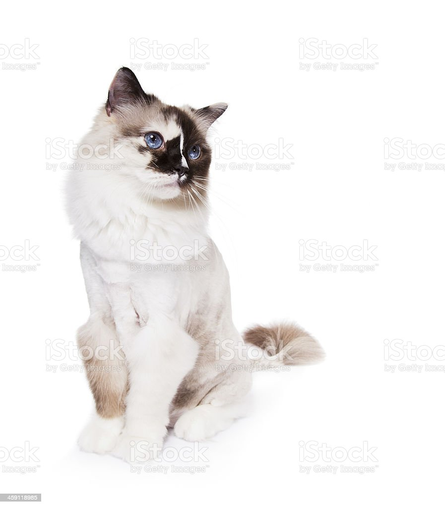 Ragdoll Cat Haircut stock photo