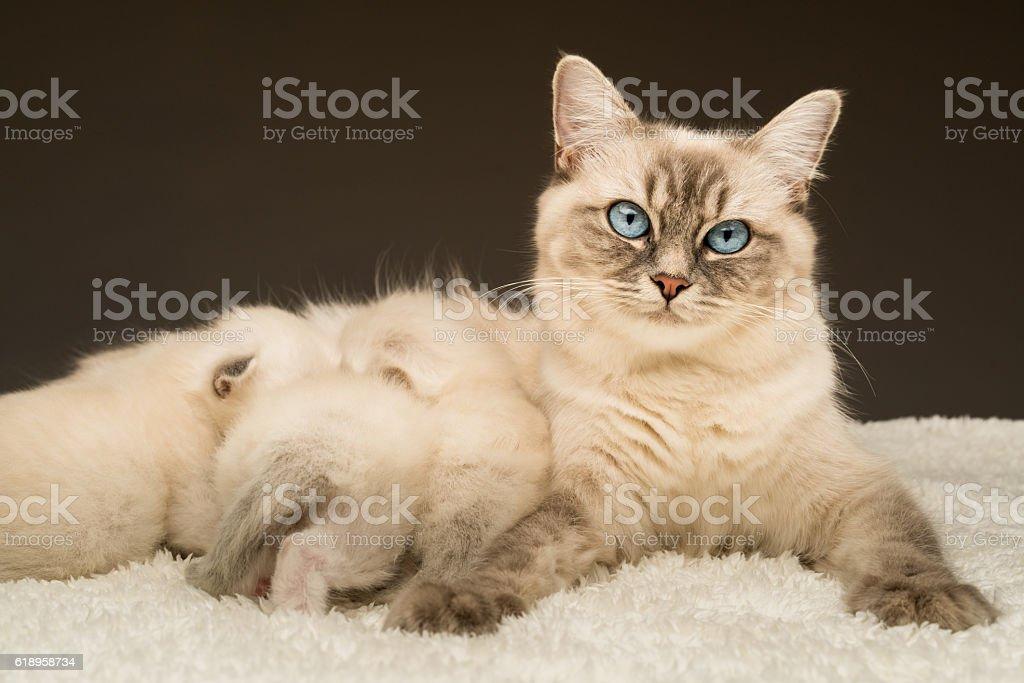ragdoll cat mummy with kittens stock photo