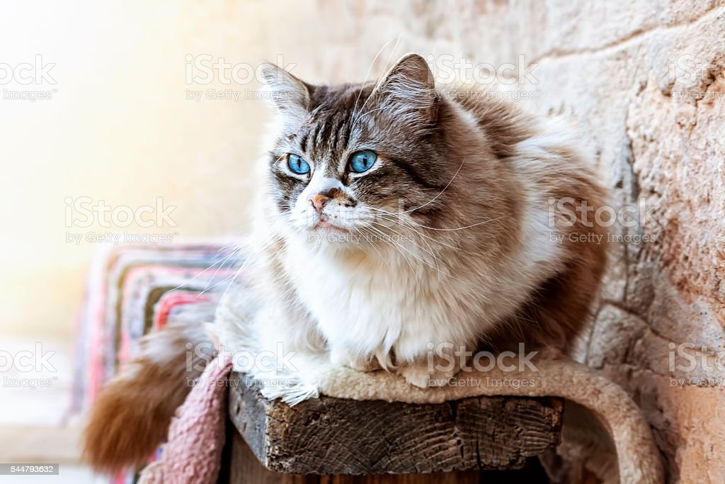 Ragdoll cat resting during the day. stock photo