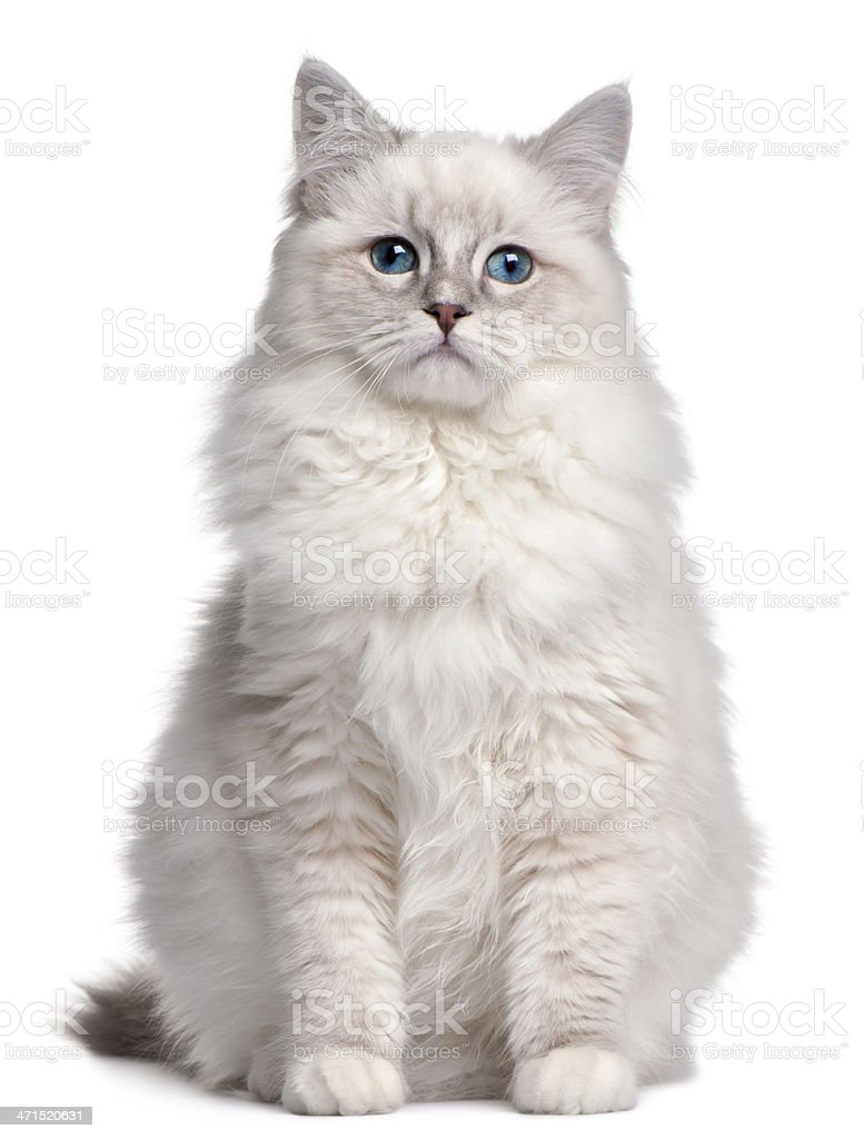 Ragdoll kitten, 5 months old, in front of white background stock photo