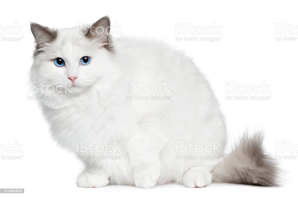 Ragdoll kitten, 6 months old, sitting stock photo