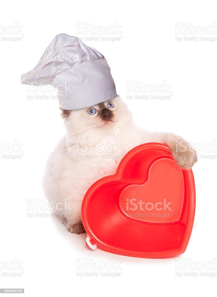 Ragdoll kitten chef stock photo