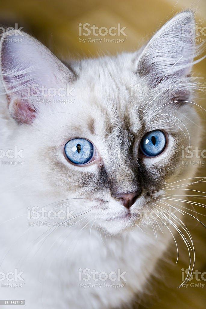 Ragdoll kitten stock photo