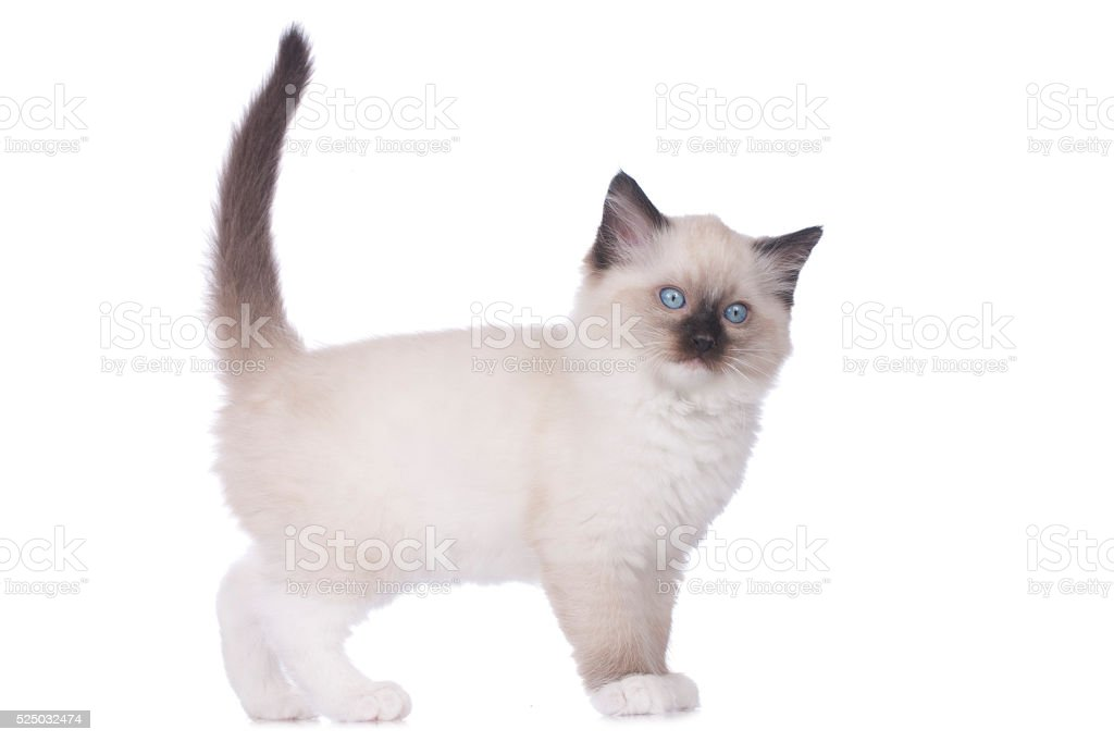 Ragdoll kitten standing sideways stock photo