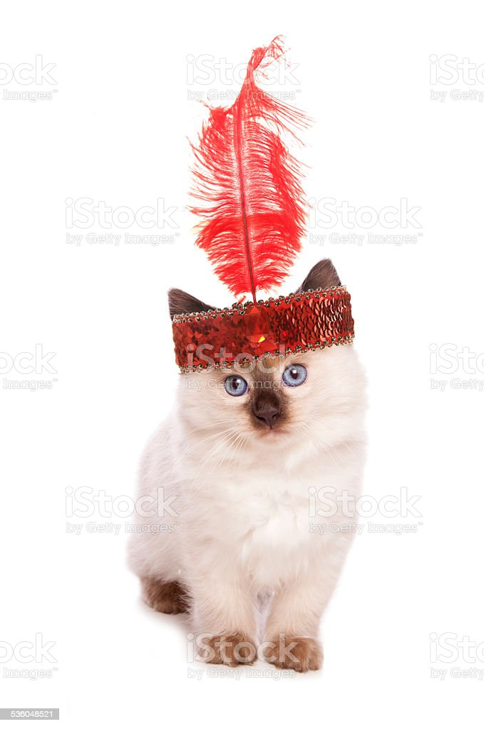 Ragdoll kitten with a flapper girl headband stock photo