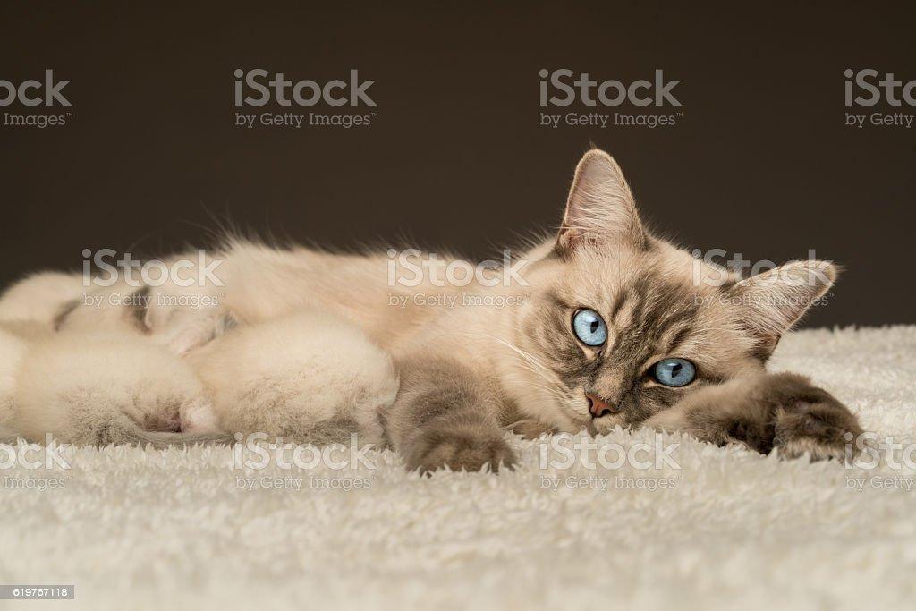 ragdoll mummy cat with babies stock photo