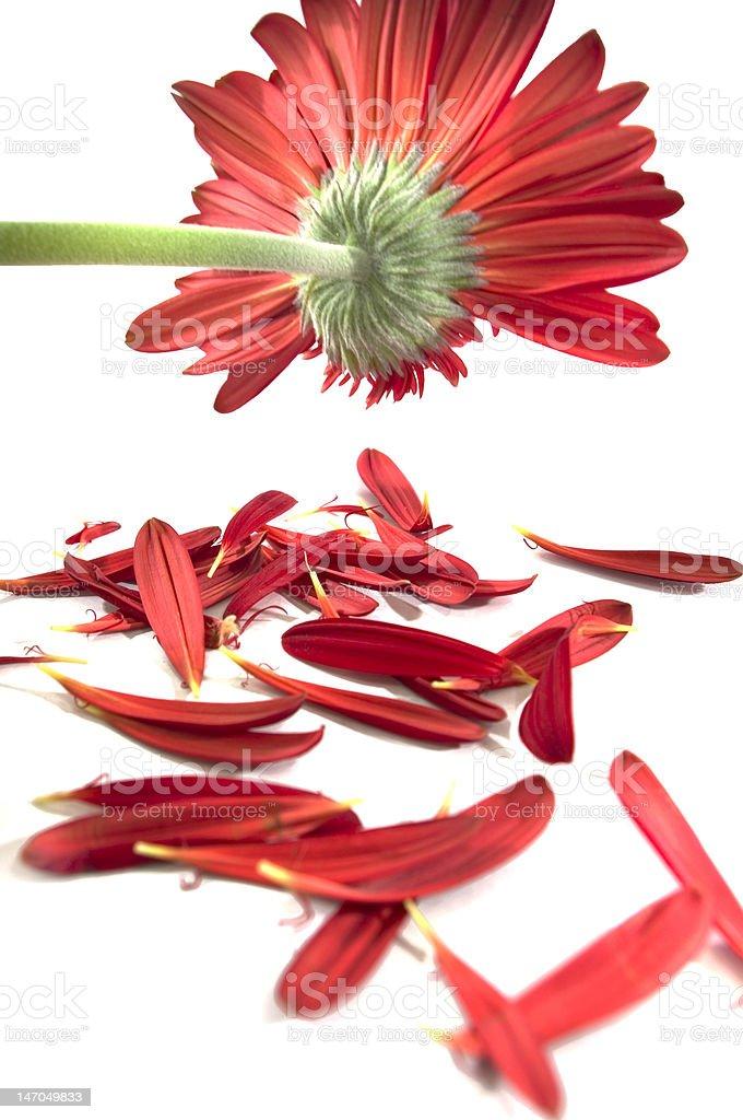 Ragged gerbera daisy royalty-free stock photo