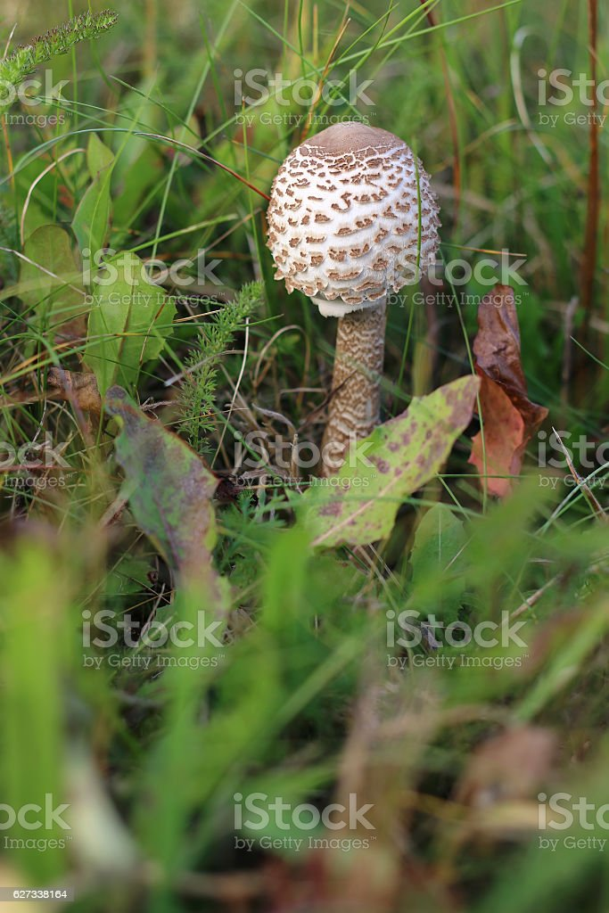 Ragged parasol in the grass stock photo
