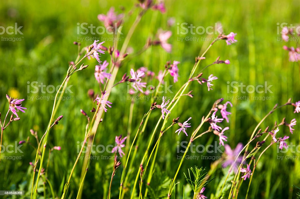 Ragged Robin (Lychnis flos-cuculi) flowers stock photo