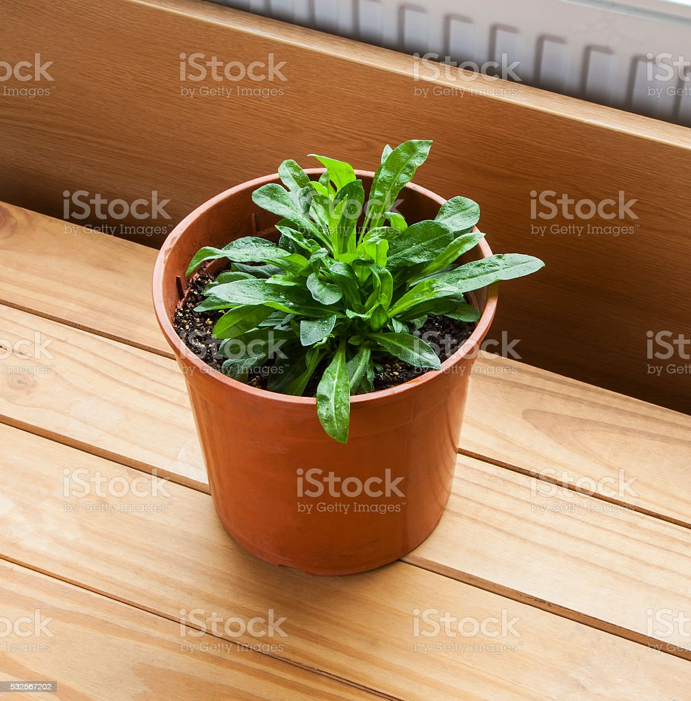 Ragged Robin herb / plant, growing in pot (Lychnis flos-cuculi). stock photo