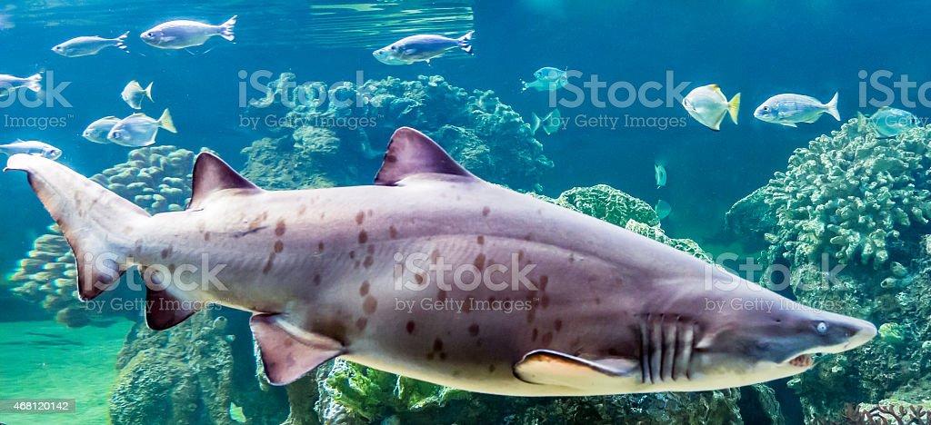 Ragged Tooth Shark (carcharias taurus) stock photo