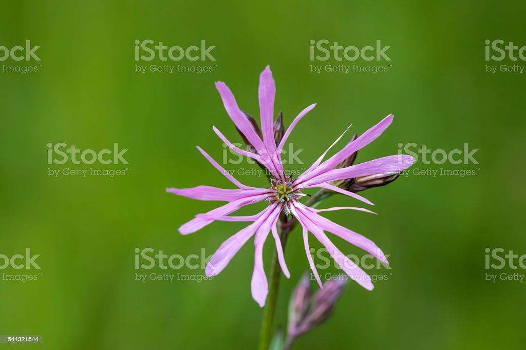 Ragged-Robin flowers, Lychnis flos-cuculi stock photo