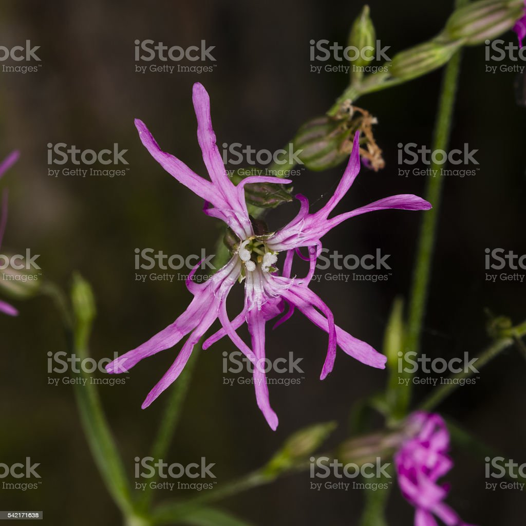 Ragged-Robin, Lychnis flos-cuculi, flower macro, selective focus stock photo