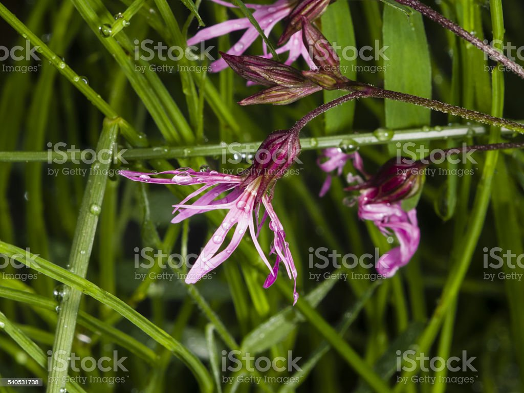 Ragged-Robin, Lychnis flos-cuculi, flower with raindrops macro, selective focus stock photo
