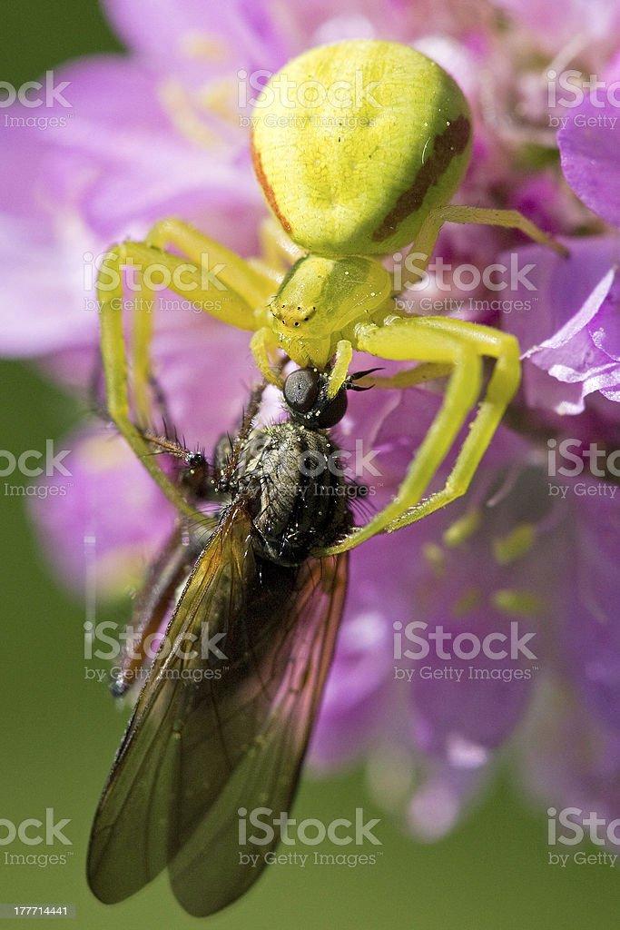Ragno verde afferra la sua preda royalty-free stock photo