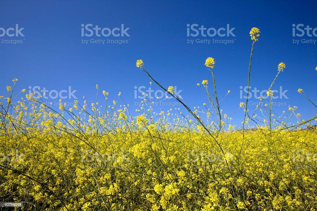 Ragweed stock photo
