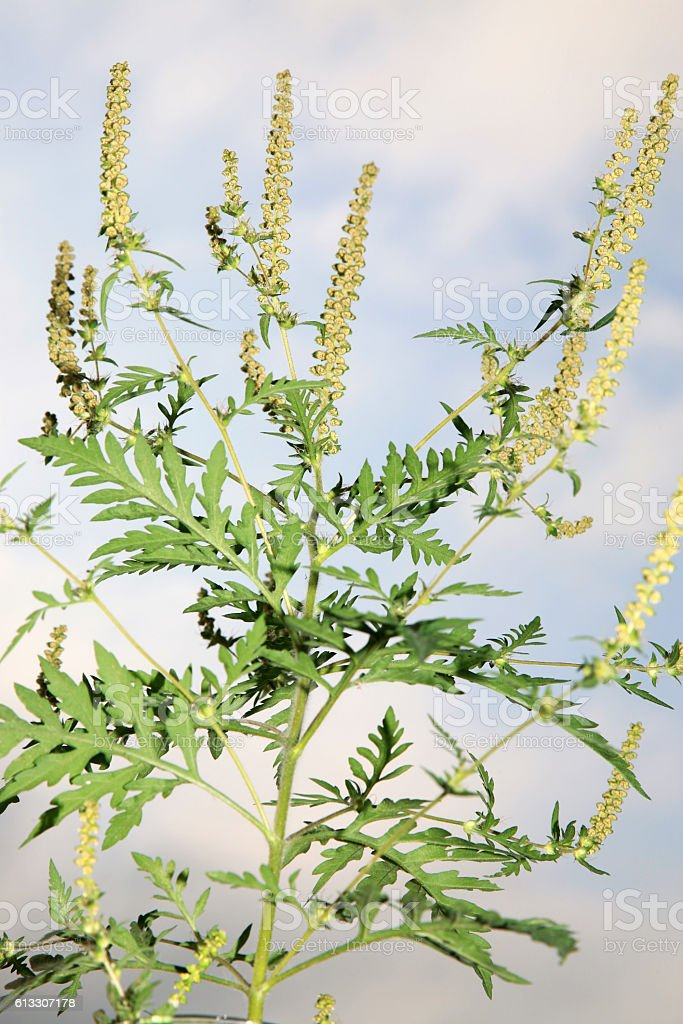 Ragweed plant (ambrosia) responsible for allergies stock photo