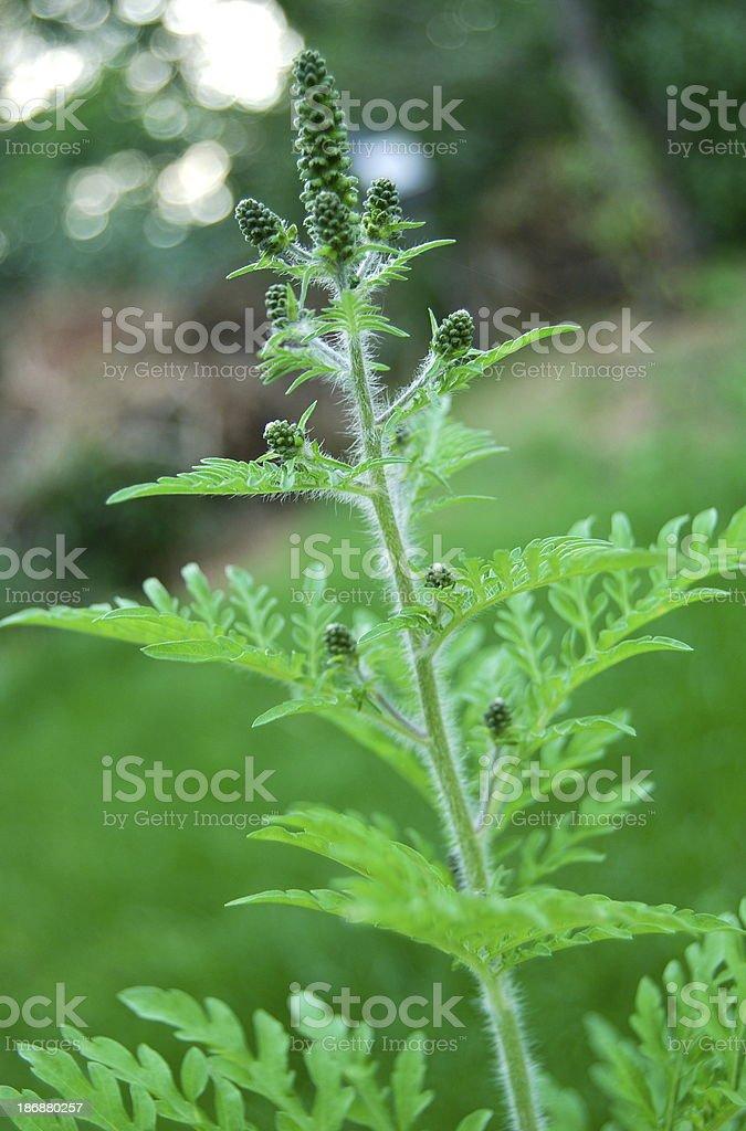 Ragweed-Ambrosia-Traubenkraut stock photo