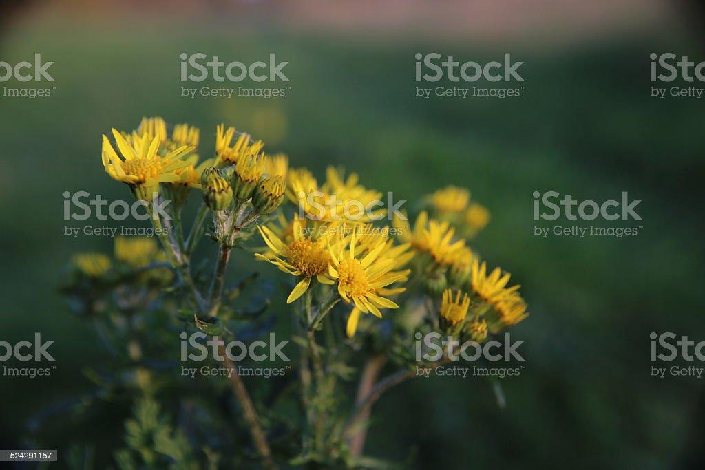 Ragwort Blossoms stock photo