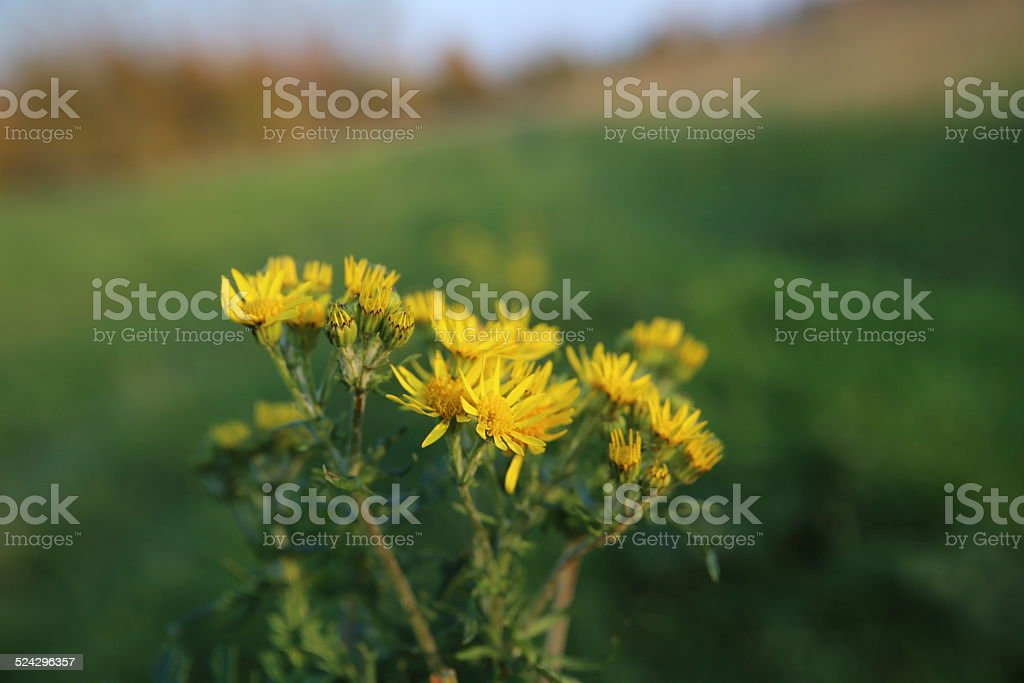 Ragwort Blossoms stock photo
