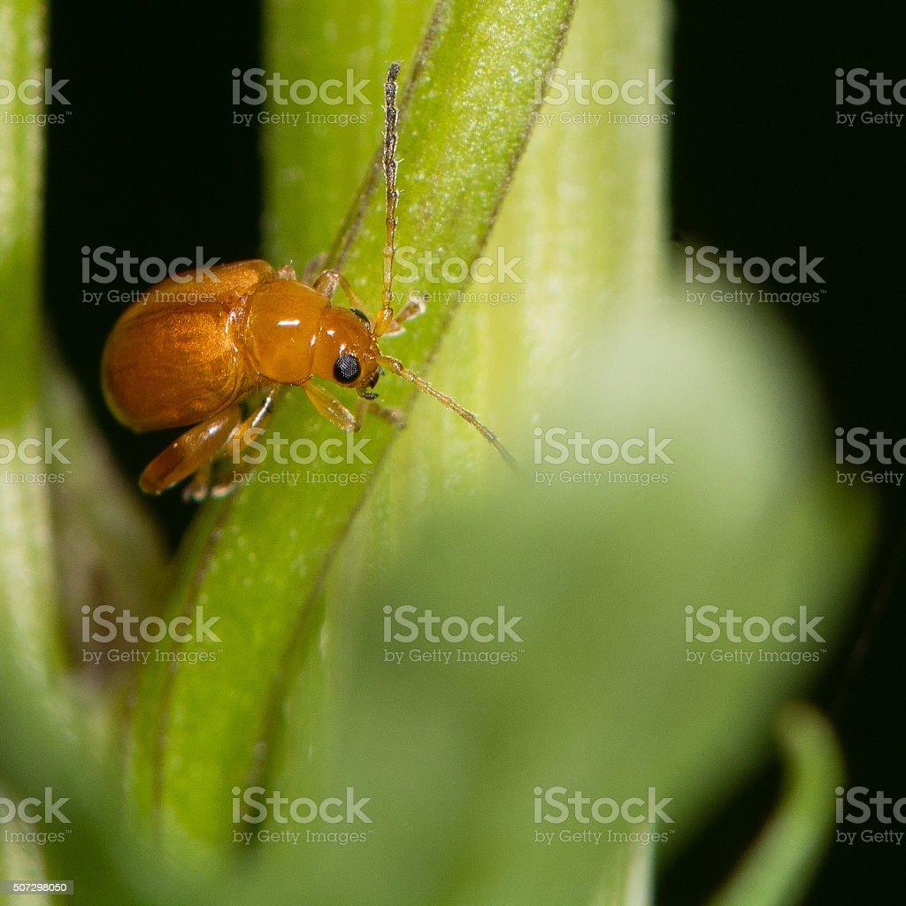 Ragwort flea beetle (Longitarsus jacobaeae) stock photo