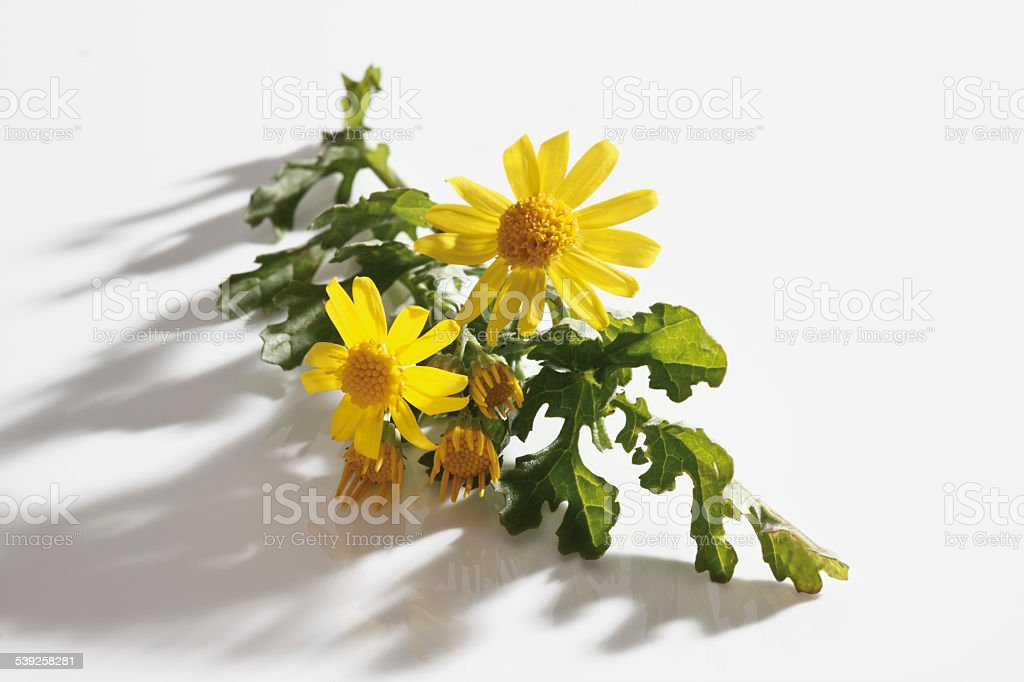 Ragwort flowers (Senecio jacobaea) stock photo