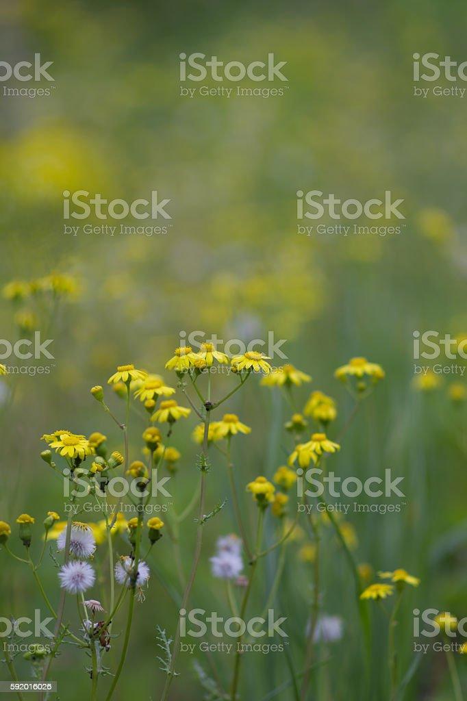 Ragwort flowers stock photo