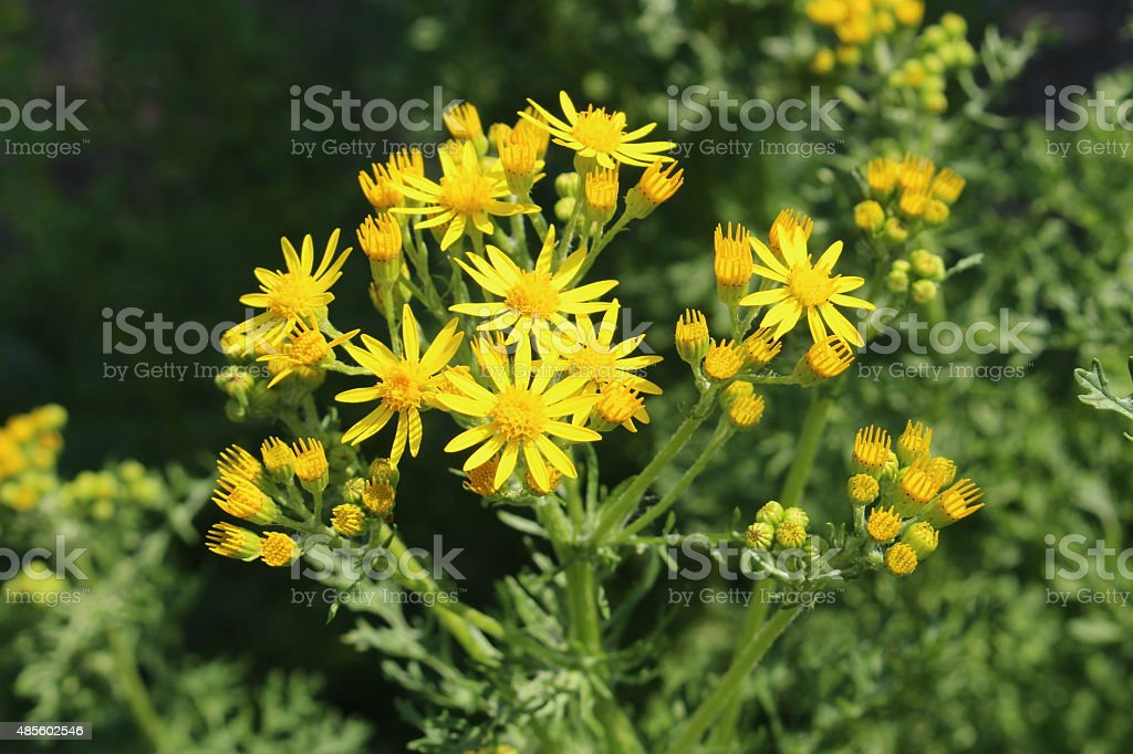 'Ragwort' flowers - Senecio Jacobaea (or Jacobaea Vulgaris) stock photo