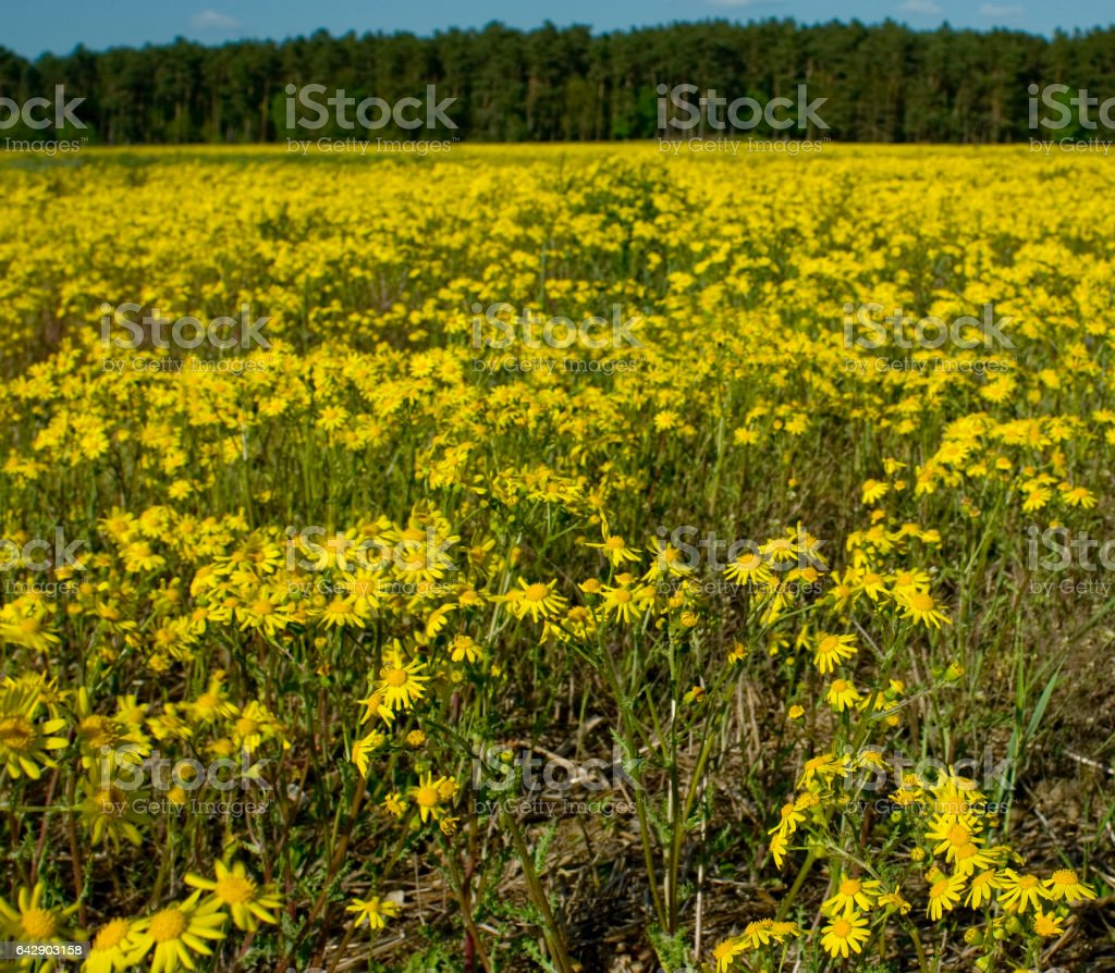 ragwort (senecio) stock photo
