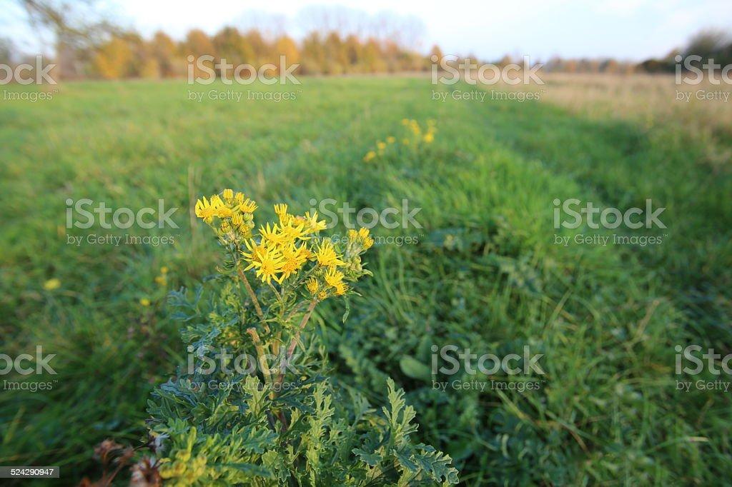 Ragwort Plant stock photo