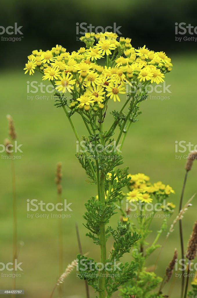 Ragwort Plant With Flowers stock photo