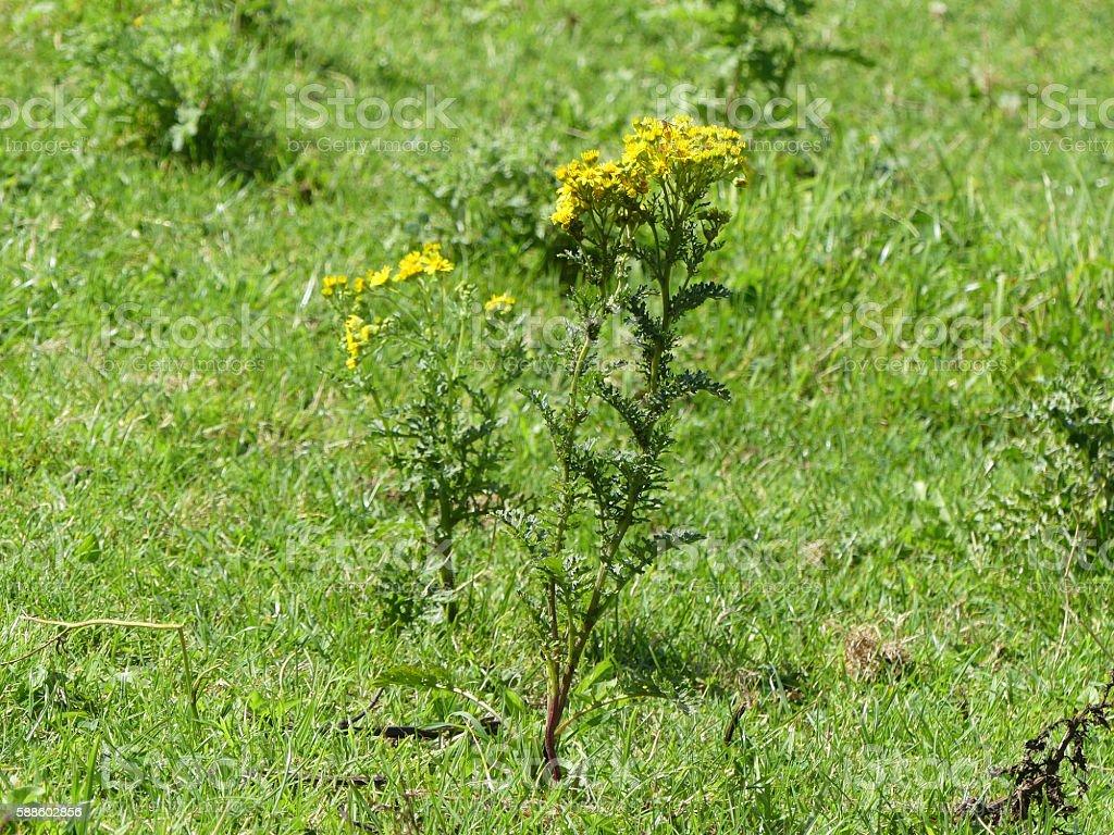 Ragwort, Senecio jacobaea, poisonous weed stock photo