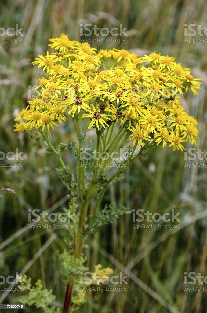 Ragwort wildflower stock photo