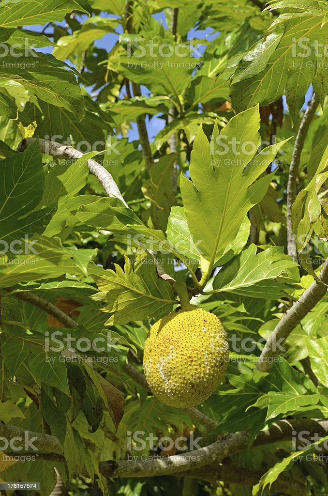 Raiatea Society Islands Bread Fruit Tree royalty-free stock photo