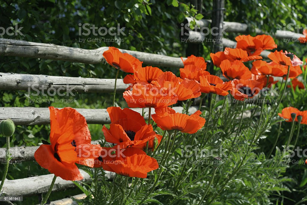 Rail fence and poppies royalty-free stock photo