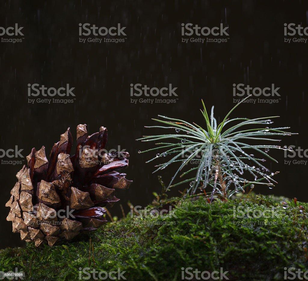 Rain and tiny fir tree stock photo